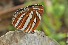 BugsAlive posted a photo:  Lamnamkok NP, Chiang Rai, Thailand  Family : Nymphalidae  Sub-Family : Limenitidinae  Species : Neptis hylas kamarupa  This is a species that is widespread across South and Southeast Asia and is found in Sri Lanka, India, Nepal, Bhutan, Bangladesh, Myanmar, Thailand, Laos, Cambodia, Vietnam, China, Korea, Malaysia, Indonesia, and the Philippines. It is a small to medium size butterfly with a wingspan of 40-50mm and like all Neptis species is a delight to watch as…