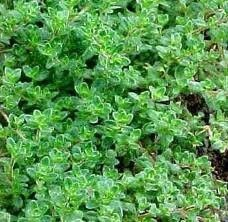 Common Thyme Heirloom Herb Seed 1# From The Dirty Gardener
