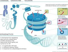 Great infographic on epigenetics! Genes are turned on an off by modifications to the tails of histones, such as acetylation.