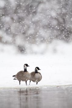 Beauty Rendezvous : ~ Winter and the Canadian Geese ~ I Love Winter, Winter Colors, Winter Snow, Winter Time, Snow Scenes, Winter Scenes, Image Nature, Winter Magic, Winter's Tale