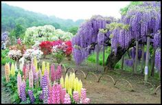 flowering plant with the common name wisteria or water wisteria ...