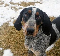 """Meet+Dixie,+a+Petfinder+adoptable+Bluetick+Coonhound+Dog+