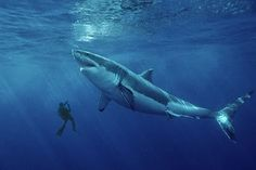 A 50-foot great white shark photographed off Ireland