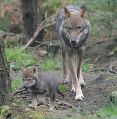 Help protect wolves in the wild!