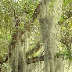 Most plantations in Georgia and South Carolina have live oaks dripping in Spanish Moss.