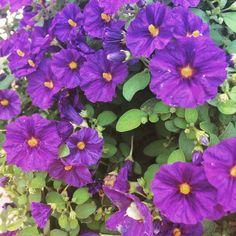 Solanum rantonetti. Flores para jardín. Climas cálidos.