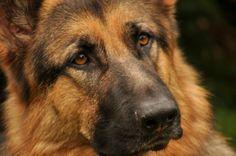 German Shepherd Dog Reminds me so much of Zeus !