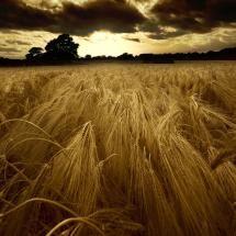 Golden fields of grain
