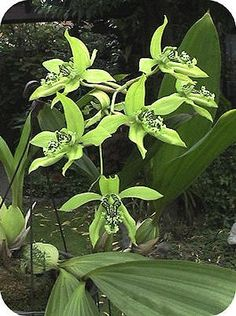 orchidee Coelogyne zeldzame soorten orchideeen verzamelen bloeien bloemen soorten kiezen pandurata