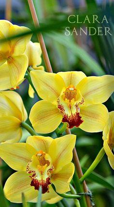 Cymbidium     www.floriferous-garden.com    #cymbidium #orchid #orchids #flower #flowers #garden #gardens #gardening #floriferousgarden