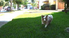 Kora running, puppy ears :)