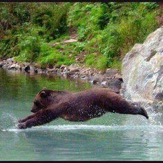 Bear diving .........