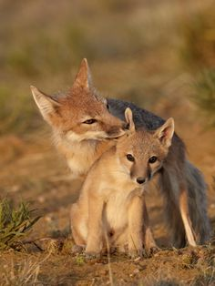 Swift Fox (Vulpes Velox) Vixen Grooming a Kit, Pawnee National Grassland, Colorado, USA