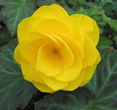 Begonia (Begonia Tuberosa Double Yellow) - If you have a lot of dappled light in your landscape, Begonias are a wonderful plant to grow. Start the Begonia Tuberosa seeds and grow a large quantity of p Rare Flowers, Exotic Flowers, Amazing Flowers, Yellow Flowers, Beautiful Flowers, Yellow Plants, Little Flowers, Unique Flowers, Flower Seeds