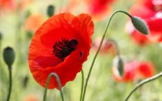 Red Poppy Flower | In the beautiful red poppy wallpapers and images - wallpapers…