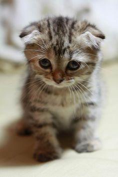 Doramon (多拉ㄟ夢) Cat-Scottish Fold(蘇格蘭摺耳貓) - See more stunning scottish fold cat picture at catsincare.com!