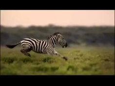 Great Migrations on National Geographic Channel - YouTube