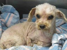 OPCA Shelter Network Alliance · ID #A4793168 L.A. County Animal Care Control: Carson Shelter *** 10 Year Old SENIOR ALERT!!! *** SUSHI! ‒ My Name is SUSHI. I am a Male, Cream Miniature Poodle mix. The shelter thinks I am about 10 years old. L.A. County Animal Care Control: Carson Shelter Telephone ‒ (310) 523-9566 https://www.facebook.com/OPCA.Shelter.Network.Alliance/photos/pb.481296865284684.-2207520000.1422309238./765027773578257/?type=3&theater