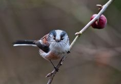 Long-tailed tit in Hampshire, England