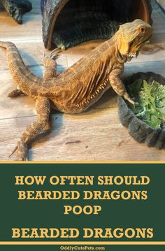 Learn how to tell if your bearded dragon is dehydrated and