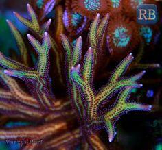Birdsnest Coral WM