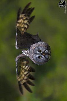 Great Grey Owl in flight by Nicholas Roemmelt