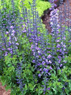 Baptisia Purple Smoke
