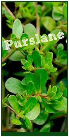 Do you recognize this plant? Do you weed it or eat it? Purslane has many healing benefits for your body. It has a cooling, anti-inflammatory affect along with soothing and healing mucilaginous constituents. It can be used topically on the skin to soothe, cool and heal bug bites, inflamed skin, stings and skin sores. Purslane Superfood Better Living through healthy choices. Herboloy and Herbal Use/Education.