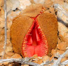 paradis express: Hydnora africana