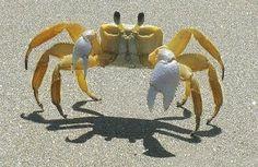 O Caranguejo-amarelo (Gecarcinus lagostoma) é um caranguejo da família dos gecarcinídeos, também conhecido como caranguejo-ladrão. Possui carapaça amarela e patas alaranjadas, encontrado principalmente nas ilhas brasileiras de Trindade, Fernando de Noronha e Ascensão, onde se constitui em importante predador de filhotes de tartarugas marinhas.