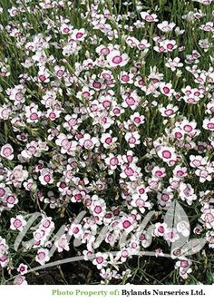 Mat forming perennial with narrow dark green foliage and single white flowers with a bright red centre in summer. Excellent as an edging border plant, in rock gardens or Container. Drought tolerant once established. Attracts butterflies.