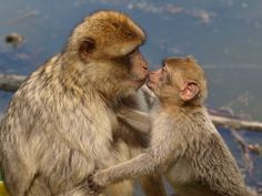 Macacos Berberes, filhote e mãe.  Fotografia: https://pixabay.com