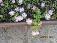 arbustosensevilla-encinarosa: Crasulaceae  /  Sedum