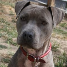 """How we found Miss Muppet """"Violet is an adoptable Pit Bull Terrier Dog in San Francisco, CA. Violet is an 18 month old female pit mix who simply loves life. Violet loves to go for walks, loves to play, loves to train, loves to ..."""""""