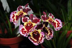 Tolumnia Jairak Rainbow 'KS451' | Seen at Schwerter Orchidee… | Flickr
