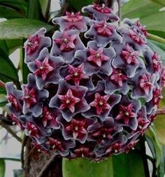 "Hoya pubicalyx ""Red Button"" - Flor de Cera"