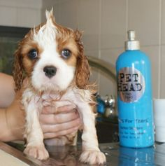 Cavalier King Charles Spaniel puppy getting one of his potentially first baths!