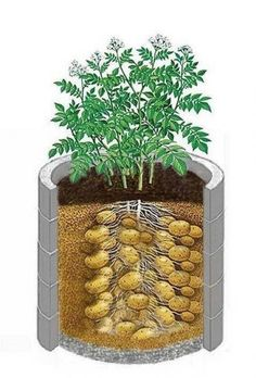 Интересный способ выращивания картофеля, когда место под посадку ограничено. | Лайфхаки Гидропонное Садоводство, Органическое Садоводство, Контейнерное Озеленение, Ферма, Сад Из Бутылок, Овощные Грядки, Выращивание Овощей, Пермакультура