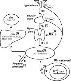 Overview of thyroid hormone regulation. Thyroid-releasing
