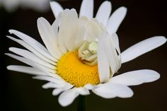 Cozy in her daisy hideaway Crab Spider, Spiders, Daisy, Mystery, Cozy, Times, Silk, Flower, Eat