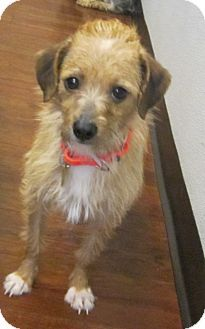 Oak Ridge, NJ - Second Chance Pet Adoption League, Norfolk Terrier/Border Terrier Mix. Meet Kit Kat- PUPPYMILL RESCUE, a dog for adoption. http://www.adoptapet.com/pet/12949295-oak-ridge-new-jersey-norfolk-terrier-mix