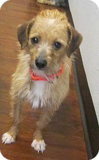Oak Ridge, NJ - Norfolk Terrier/Border Terrier Mix. Meet Kit Kat- PUPPYMILL RESCUE, a dog for adoption. http://www.adoptapet.com/pet/12949295-oak-ridge-new-jersey-norfolk-terrier-mix