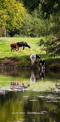 Until the cows come home on the farm , nice relaxing scene, - cool!