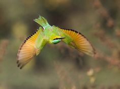 Little Green Bee-eater by Akshay Charegaonkar on 500px