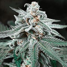 Семена марихуаны казахстан общий анализ крови марихуана