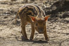 Red river hog piglet by Official San Diego Zoo, via Flickr
