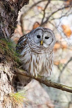 A curious look, thanks for sharing, Gerry. More photos and info about Barred Owls here --> OwlPag.es/BarredOwl
