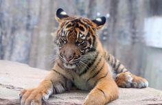 Tiger cub at 6 mos of age. #sftigercub 2714 | Flickr