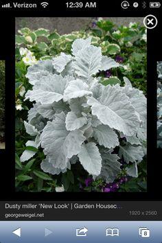 Dusty miller 'New Look' (Senecio bicolor cineraria 'New Look') Dusty Miller, Emily Miller, Colorado Springs, White Flowers, Beautiful Flowers, Cut Flowers, Spring Flowers, Silver Plant, Winter Wedding Colors