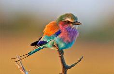 """O Roleiro-de-peito-lilás é comumente encontrado na África sub-saariana, é o pássaro país oficial do Quênia. É muito colorido com um bonito peito lilás. Ambos os sexos tem a mesma cor.   Ser um pássaro """"roleiro"""" significa ter movimentos acrobáticos quando corteja ou sob ameaça. O macho sobe muito alto, ou então mergulha para baixo, chamando atenção, como parte de seu ritual de acasalamento, durante a época de reprodução."""